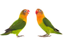 Lovebird Care Guide - Types, Lifespan & More