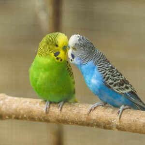 How Long Do Parakeets live on Average?