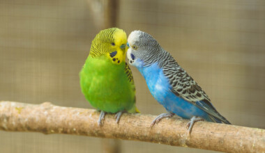 two parakeets