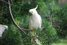 Umbrella Cockatoo Care Guide - Diet, Lifespan & More
