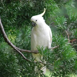 Umbrella Cockatoo - Care Guide, Info & Price