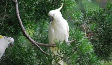 umbrella cockatoo in the forest