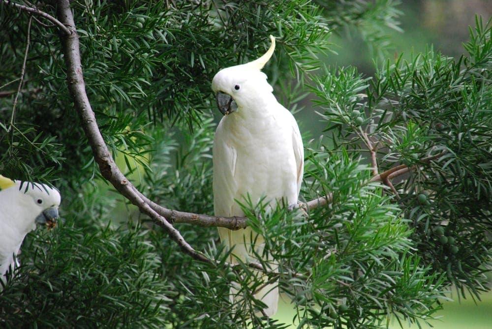 umbrella cockatoo in the forest