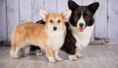 welsh corgi pembroke and cardigan together