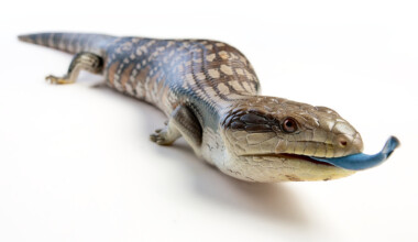 white bg Blue Tongue Skink