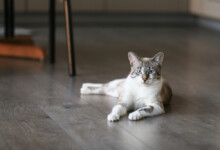 Do Male Cats Go into Heat?