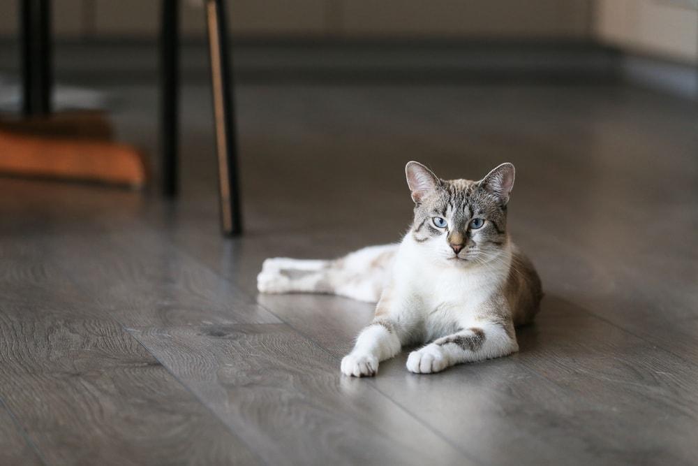 white gray cat on floor