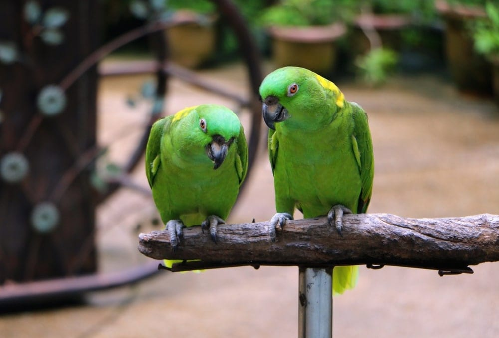 yellow naped Amazon parrot couple