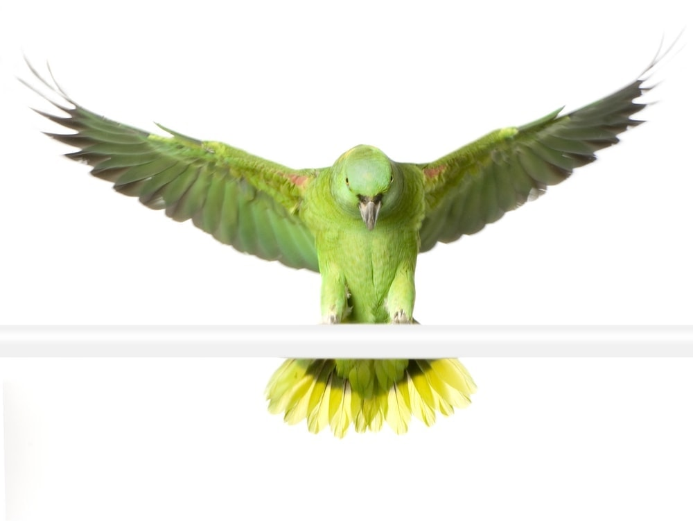 yellow naped Amazon parrot flying 1