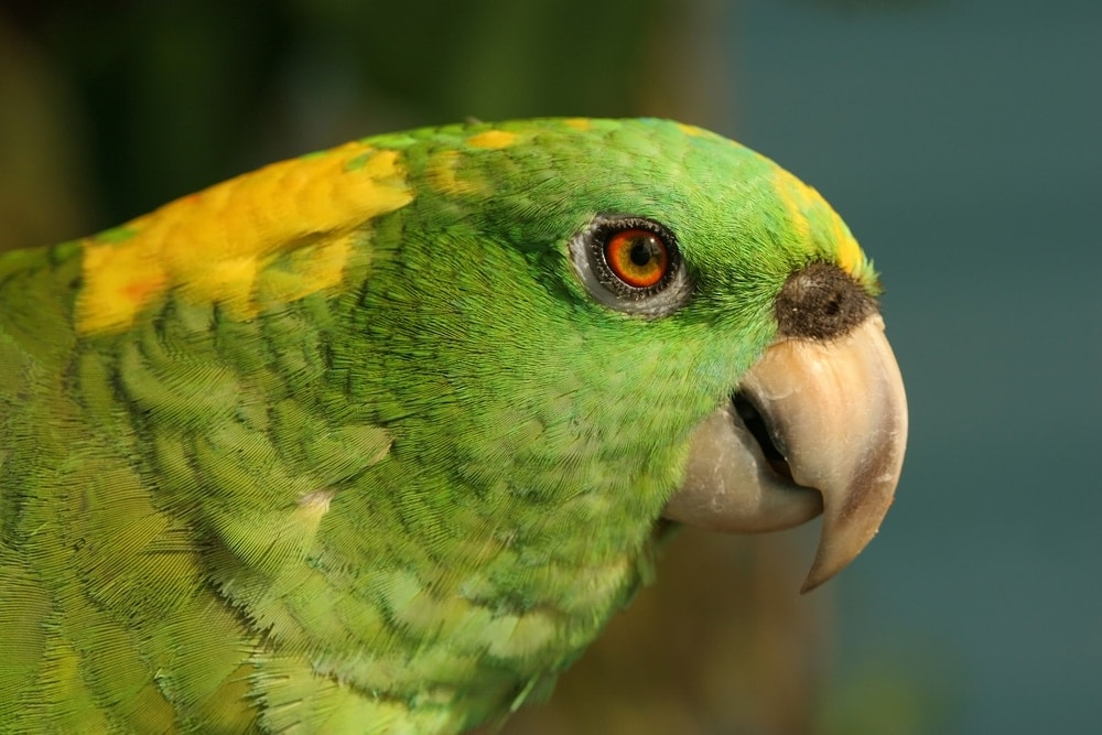 yellow naped Amazon parrot portrait