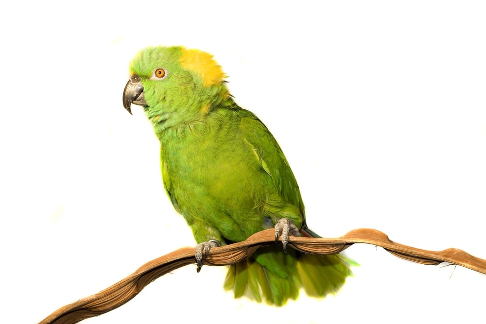 yellow naped Amazon parrot white background