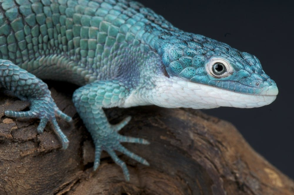 Abronia Arboreal Alligator Lizard