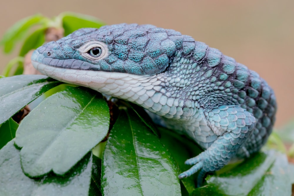 Abronia Arboreal Alligator Lizard2