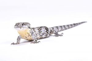 Abronia Arboreal Alligator Lizard3