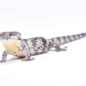 Abronia Arboreal / Alligator Lizard Care Guide