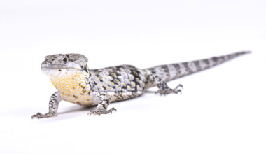 Abronia Arboreal Alligator Lizard3