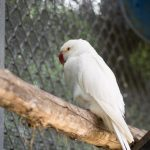 Albino parakeet - Care Guide & Info
