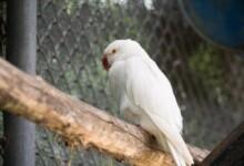 Albino parakeet Care Guide - Diet, Lifespan & More