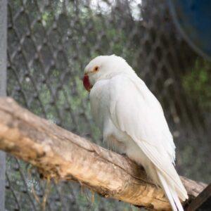 Albino parakeet - Care Guide & Info