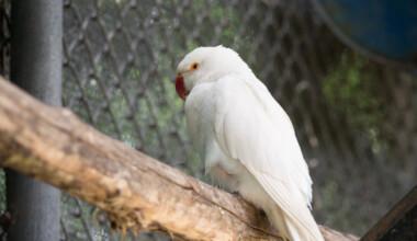 Albino Parakeet on a stick 1