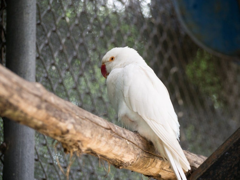 Albino Parakeet on a stick 1