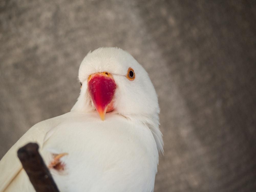 Albino Parakeet portrait