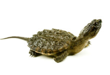 Baby Snapping Turtle Care Guide - Diet & Tank