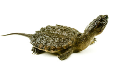 Baby Snapping Turtle very surprised