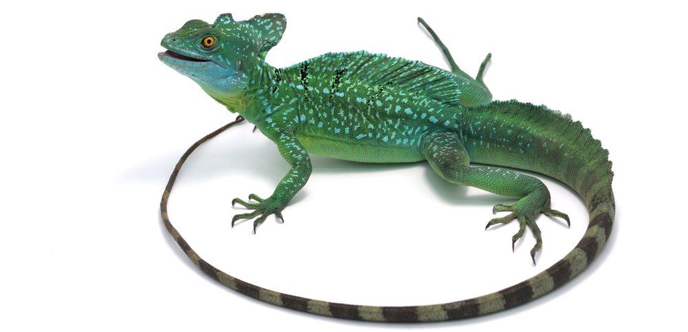 Basilisk Lizard white bg 1 e1579083683725