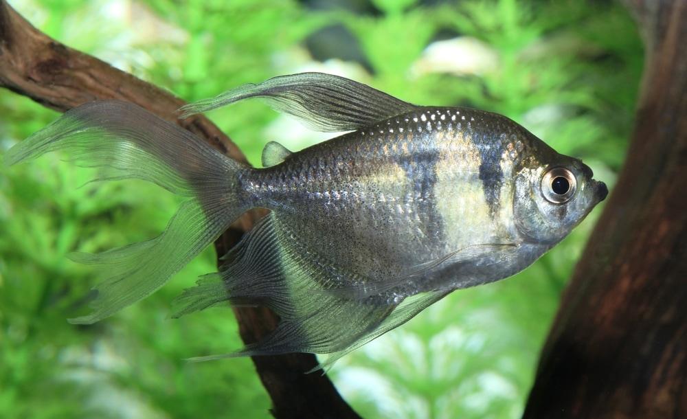 Black Skirt Tetra adult fish