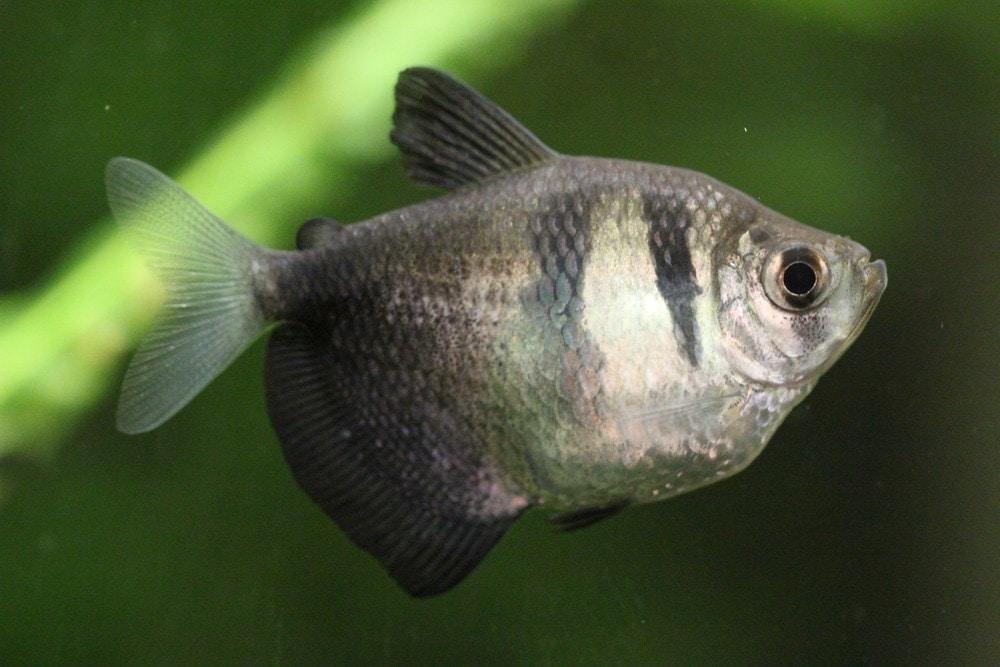 Black Skirt Tetra in a aquarium