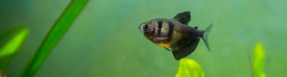Black Skirt Tetra in a tank swimming e1580476679457