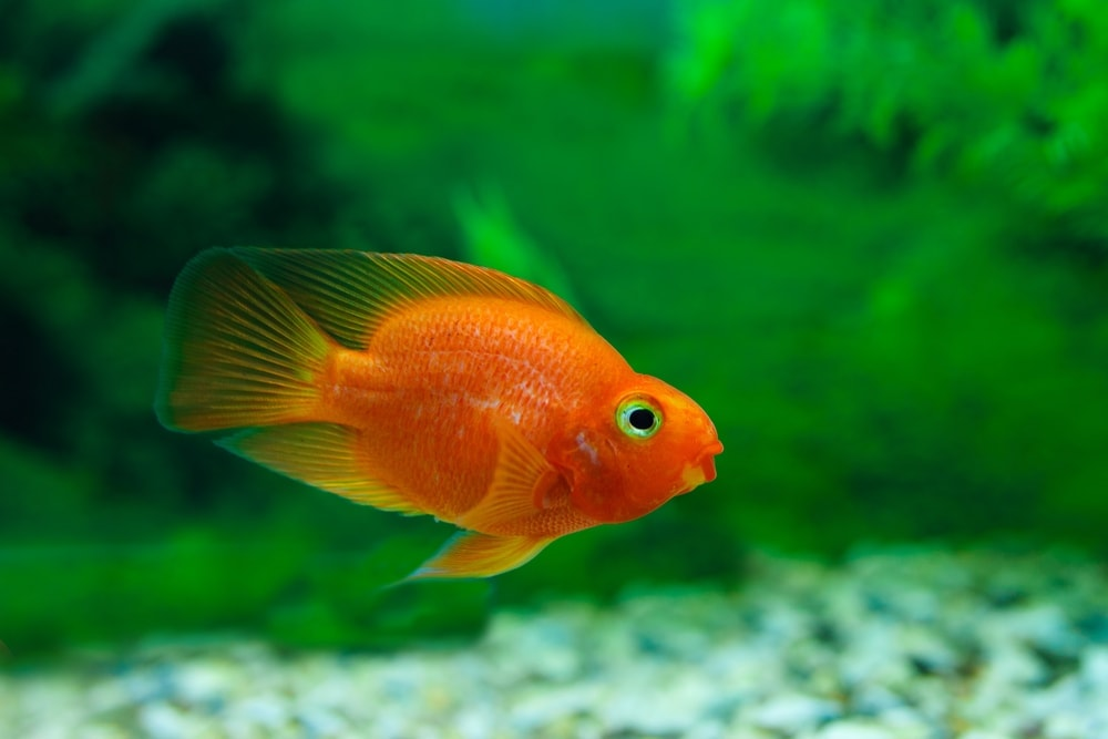 Blood parrot cichlid 1