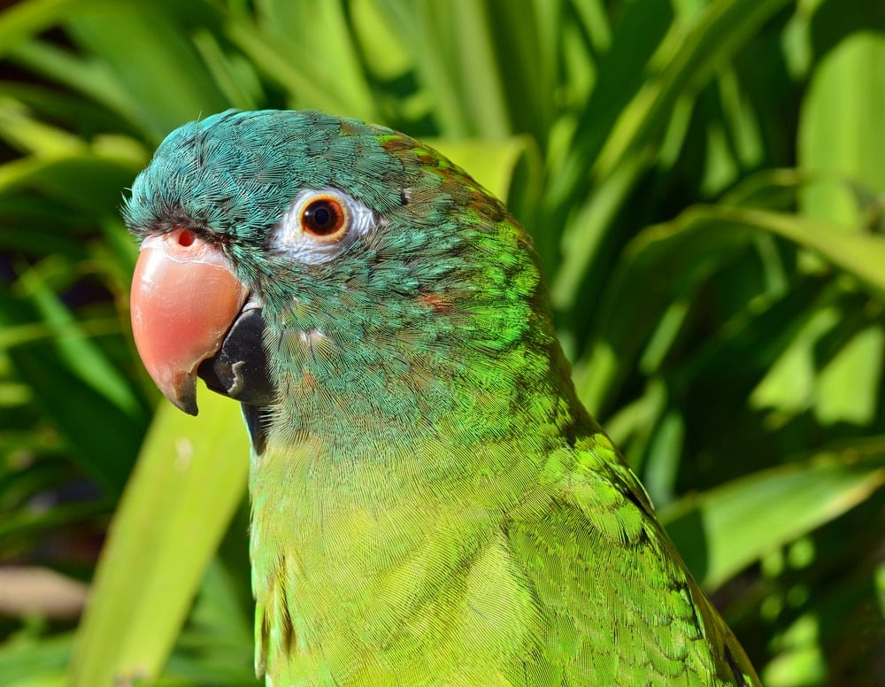Blue Crowned Conure 2