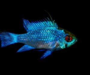 Blue ram cichlid black background