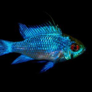 Blue Ram Cichlid Care Guide - Diet, Breeding & More