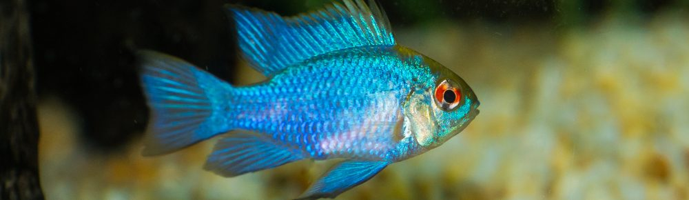 Blue Ram Cichlid Care Guide Diet Breeding More Petsoid