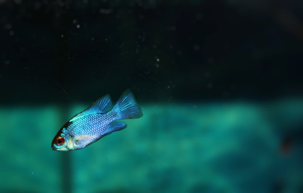 Blue ram cichlid small one