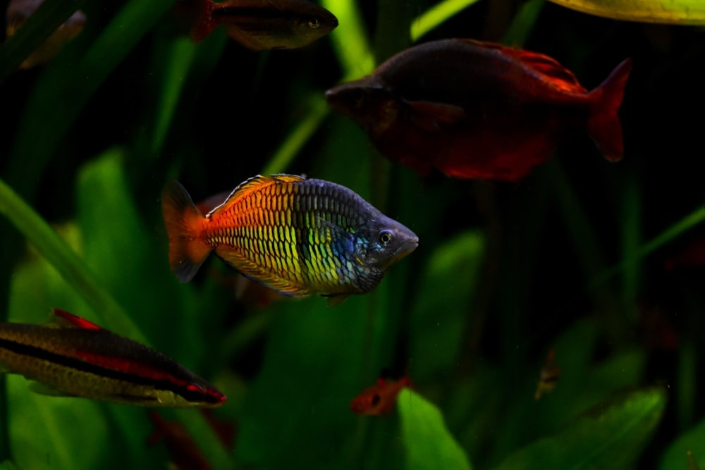 Boesemani Rainbow Fish 1