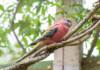 Bourke Parakeet Care Guide - Diet, Lifespan & More