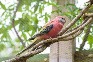 Bourke Parakeet on a stick