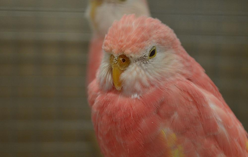 Bourke Parakeet sleeping in the zoo