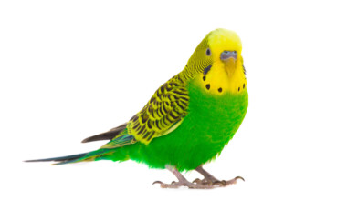 green budgie white background
