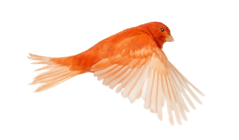 red canary flying