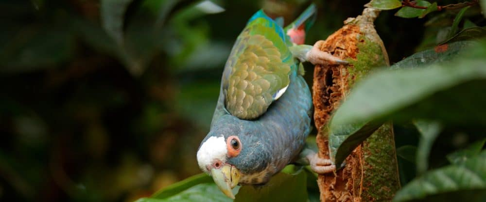 White Capped Pionus on a stick