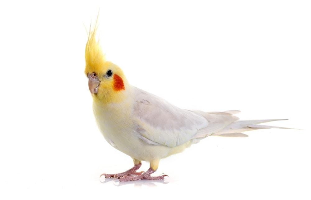 Cockatiel 3 1