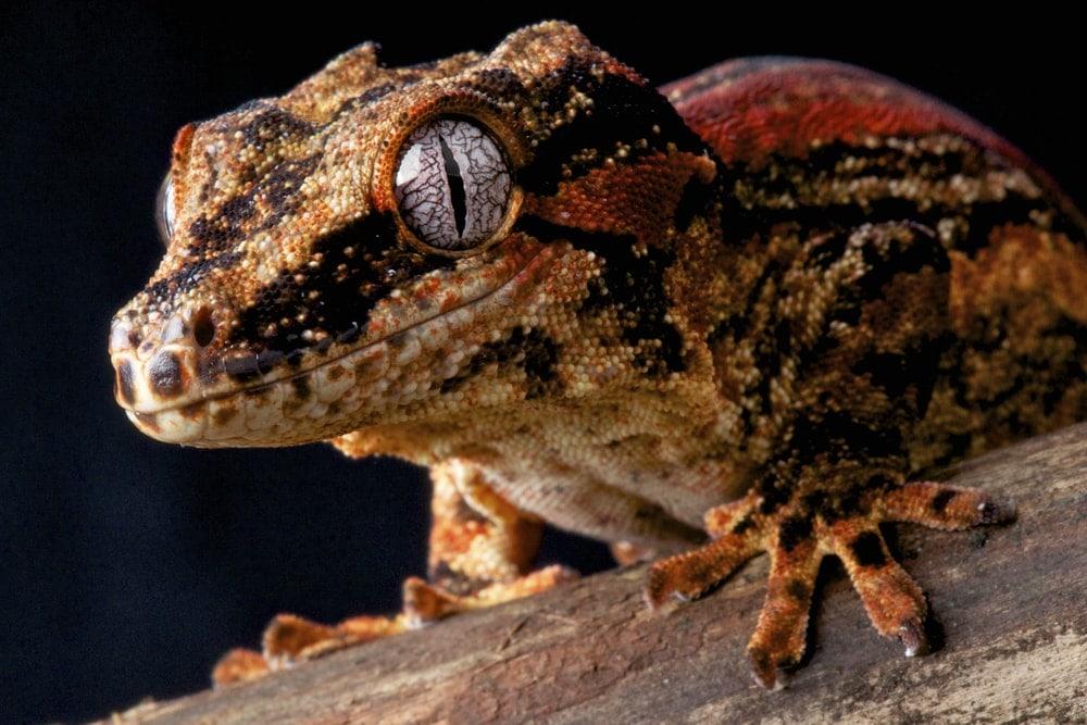 Gargoyle Gecko black