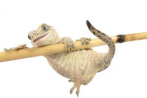 Gargoyle Gecko white bg