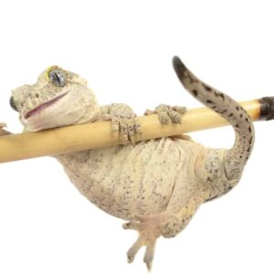 Gargoyle Gecko - Care guide & Prices