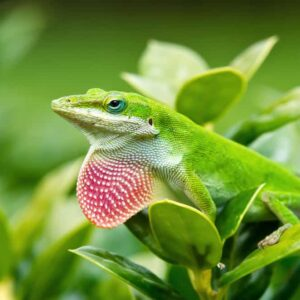 Green Anole Care Guide - Diet, Lifespan & More